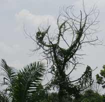 Pohon Allah